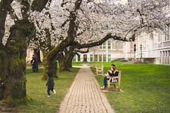 IMG_9491 (elenafrancesz) Tags: uw cherry blossoms wordless