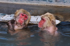 Monkey spa I- This hot water's good, getting rid of tiredness (kazs2307) Tags: travel hotwater monkey  hotspring spa hakodate