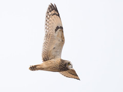 Short-eared Owl (Rob Zweers) Tags: asioflammeus shortearedowl hiboudesmarais sumpfohreule velduil búhocampestre corujadonabal robzweers