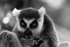 DSC_2187 (Connor Phipps) Tags: blackandwhite bw monochrome birds animals wildlife sydney tortoise lemur giraffe operahouse harbourbridge lizards reptiles tarongazoo