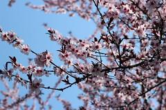 IMG_0131 (Zenona Avramidis) Tags: flowers floral spring bloom mukachevo