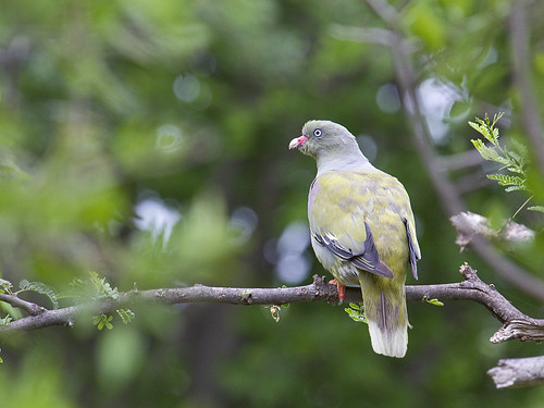 African Green Pigeon, Treron calvus, Black Rhino Private Reserve,IMG_2061