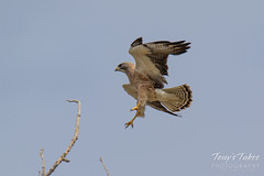 Swainson's Hawk takes a swipe at an owls nest - sequence - 3 of 5