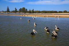 LR-160316-059.jpg (Finert) Tags: theentrance friendlyflickr pelicanfeeding 160316