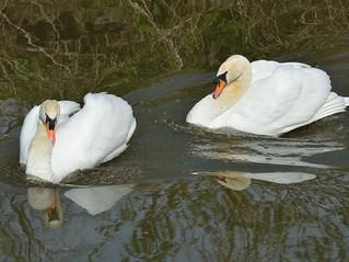 2016 04 12 135 KA Canal, nesting swans