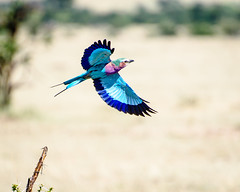 Lilac-breaster Roller in flight (MudflapDC) Tags: travel blue grass wings purple kenya flight safari jungle mara plains masai maasaimara lilacbreastedroller gamewatchers porinilioncamp