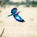 Lilac-breaster Roller in flight