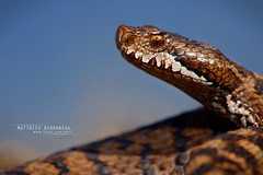 Vipère aspic (Matthieu Berroneau) Tags: sony alpha macro nature france herpéto wildlife animal animaux ff 24x36 full frame a7ii 7ii 7mk2 sonyilce7m2 herping herpeto reptile reptilian reptilia serpent serpente snake serpentes snakes serpiente vipera field herp vipère aspic asp vibora aspid subspecies gironde zinniker пепелянка aspis sugegorria venin venimeux venimous venon venomous poisonous serpents aspics zinnikeri vipèreaspic viperaaspiszinnikeri aspviper viperaaspis viperaaspisaspis sonya7ii sonya7mk2 sonyalpha7mark2 sonyalpha7ii 90 28 fe f28 g oss fe90f28macrogoss sonyfesonyfe2890macrogoss objectifsony90mmf28macrofe sel90m28g
