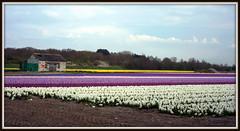 Bollenveld/bulbfield (Paul Rosenhart) Tags: colors nikon hyacinten bulbfield kleuren bollenveld d700 paulrosenhart