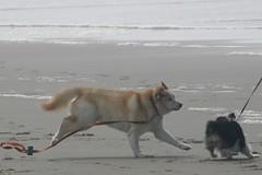 All Photos-9281 (jlh_lunasea) Tags: ocean dog beach romeo manzanita huskador