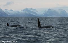 orcas (jacqy85) Tags: norway wildlife dolphins whales orca andenes noorwegen cetacean orka kilerwhales spekhoggere
