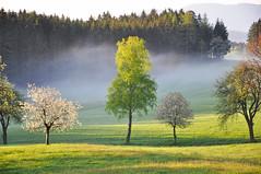 Frhling ist Bltezeit (Mariandl48) Tags: austria wiese sonne wald schatten sonnenstrahlen steiermark birke morgensonne kirschbaum morgenstimmung wenigzell sommersgut blhendekirschbume