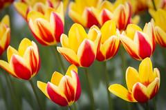 Dutch Tulips (siebe ) Tags: flowers flower holland netherlands dutch tulips nederland thenetherlands bloemen keukenhof tulp lisse 2016 siebebaardafotografie