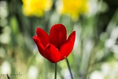 tulips (paolotrapella) Tags: verde green canon garden tulips fiori tamron giardino tulipano 70300vc