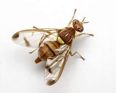Melon fruit fly (2/2) (arian.suresh) Tags: india animalia arthropoda fruitfly diptera andhrapradesh insecta hexapoda pterygota neoptera extensiontube13mm nellore tephritidae brachycera tephritoidea muscomorpha schizophora panorpida bactrocera dacinae dacini acalyptrata melonfly bactroceracucurbitae skanfarmhouse ariansuresh 750d2016img4969 melonfruitfly