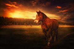 Franches-Montagnes (Chrisnaton) Tags: sunset horse nature switzerland sundown jura eveningsky eveninglight forestedge eveningmood freiberger