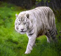 Shere Khan (photoga photography) Tags: england nature animals canon tiger westmidlandsafaripark animalkingdomelite photogaphotography