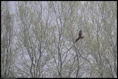 DSB_1952-01-04-2016 - falco di palude (r.zap) Tags: fito circusaeruginosus parcodelticino fitodepurazione falcodipalude rzap