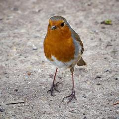 Robin 2 (dobs1973) Tags: bird robin