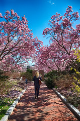 Magnolia Blossoms in Washington, DC (` Toshio ') Tags: park flowers trees woman person washingtondc spring districtofcolumbia path blonde magnolia smithsoniancastle toshio x100 magnoliatrees magnoliablossoms fujix100