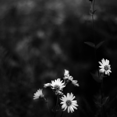 Summer Wildflowers 016 (noahbw) Tags: flowers light shadow summer blackandwhite bw abstract blur monochrome square landscape blackwhite nikon dof natural minimal prairie minimalism middleforksavanna d5000 noahbw