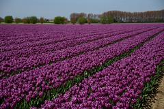 "Tulipa ""Purple Flag"" (larry_antwerp) Tags: flower netherlands nederland tulip tulp hulst flowerbulb zandberg"