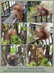 """Nach dem Essen soll man ruhen ... (flixx-ak) Tags: germany deutschland squirrel eichhörnchen mosaik 2016 050416 flixxakoffenbachammainhessen """"anvormeinemfenster"""""""