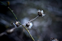 dried flowers (slowhand7530) Tags: nikon carlzeiss makroplanar macroplanar makroplanart250zf makroplanart250 d800e