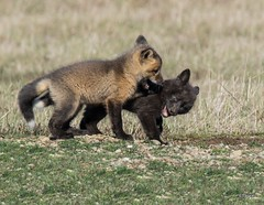 Silver Fox Kits Wrestling (T0nyJ0yce) Tags: family wild baby playing cute animals wrestling wildlife siblings fox kit foxes silverfox redfox vulpesvulpes silverphase