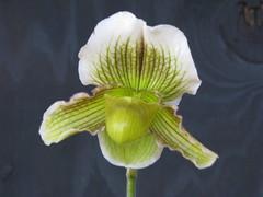 Paphiopedilum fairrieanum x Pacific Shamrock (cieneguitan) Tags: flower flora lan ran orkid slipperorchids okid angrek anggerek