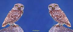 Mochuelo x dos a (eb3alfmiguel) Tags: aves nocturnas mochuelo europeo rapaces
