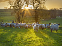 Sheep at Sunset (Alan10eden) Tags: trees light sunset wool grass canon outdoors evening suffolk spring shadows sheep dusk farm batch flock group april lambs northernireland farmer ram livestock mutton texel ulster paddock freerange tup 6d sunstar springlamb lambing crossbred ovine markethill greyface 24105mm countyarmagh meatproduction grazinglivestock alanhopps beefandsheep