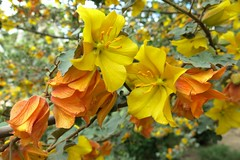 Flanel bush- Flanell Strauch (Marlis1) Tags: flowers tree yellow malvaceae fremontodendroncalifornicum sterculiaceae fremontodendron explored marlis1 tortosacataluñaespaña flanellstrauch flanelbush parcteodorgonzaleztortosa exploreapril102016 flanelstrauch