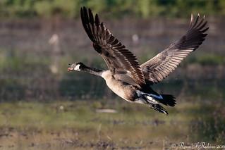 Rubino Canada Goose in flight 20160403 Lindo Lake CA 259