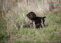 Blazer Portrait - 7 Weeks (Fly to Water) Tags: dog male field puppy photography hunting professional breed sporting liver roan deutsch drahthaar draht verein vdd