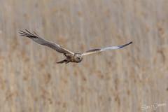 Western marsh harrier (SPPhotography_Finland) Tags: bird canon finland 2016 birdphotography iitti sigmalens 600mm wildlifephotography amateurphotography 5dmkiii