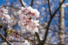 (juliafrenchfrey) Tags: flowers blue trees sky plants plant flower tree cherry flora blossoms sakura cherryblossoms cherrytree hanami