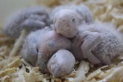 Los tres dormilones (MandoBarista) Tags: birds canon mexico hope babies sweet sleep small parrot dreams aviary success captivity cutes curator conures preservations