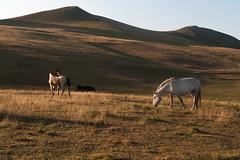 Castelluccio di Norcia (sofiaascari) Tags: wild summer horses italy horse sun verde green relax italia natura silence fiori cavalli umbria norcia castelluccio