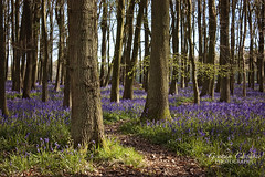 Bluebell Woods, Ashridge (gracust) Tags: trees bluebells sunrise landscape purple vibrant chilterns serene footpath bluebell tranquil hertfordshire ashridge bluebellwoods