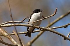 Pied Flycatcher (OWL62) Tags: nikon devon piedflycatcher yarnerwoods ficedulahypoluca