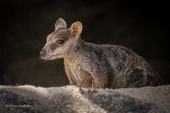 A shy wild Rock Wallaby 710_7327.jpg (Mobile Lynn) Tags: wild nature fauna wildlife australia wallaby queensland marsupials magneticisland rockwallaby coth greatphotographers specanimal coth5 sunrays5