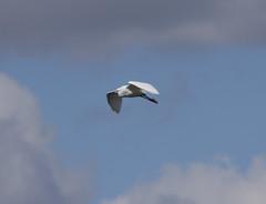 Egret (4) (Mal.Durbin Photography) Tags: nature birds newport naturereserve newportwetlands maldurbin goldcliffnewport
