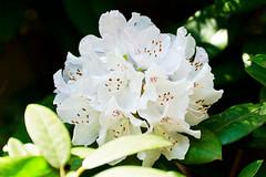 Rhododendron :  (Dakiny) Tags: park red white plant flower macro tree nature japan zoo spring nikon blossom bokeh outdoor rhododendron april yokohama tamron kanagawa 2016 zoorasia a005 yokohamazoologicalgardens d7000 nikonclubit modela005 sp70300mmf456divcusd asahiward
