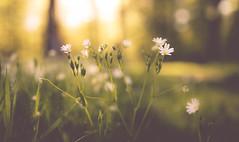 sun flare (David Go ~) Tags: sunset sun flower nature germany garden landscape sonnenuntergang natur pflanze sigma blume makro landschaft sonne sunbeam sonnenstrahlen sunflare sonnenlicht davego davidgo canoneos6d sigmaart35mm