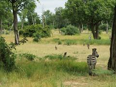 Zebra (little_duckie) Tags: africa elephant zebra giraffe hippopotamus hyena zambia bigfive southluangwa southluangwanationalpark