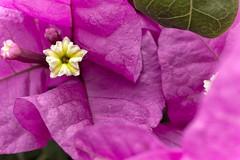 Bougainvillea 2 (tomas.restrepo) Tags: flower nature garden flora purple bougainvillea
