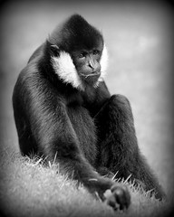 black & white (fridayschild68) Tags: washington tacoma pointdefiancezoo whitecheekedgibbon 52weeksthe2016edition week102016 weekstartingfridaymarch42016