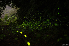 - (Spiderman Liu) Tags: new city canon eos taiwan taipei stm f18   firefly  fireflies 6d  ef50mm   tucheng