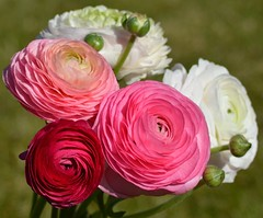 Romantic Ranunculus asiaticus (brigitte.watz) Tags: plants plant flower oslo norway plante norge outdoor ranunculus pinkflower romantic bouquet ranunculaceae pinkflowers whiteflowers cutflowers cutflower darkpink ranunculusasiaticus romanticflowers lightyellowflowers notfrosttolerant rosablomster romantiskeblomster
